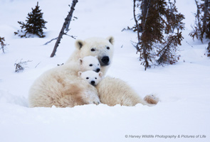Cosy polar bear family